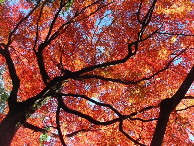 揚輝荘の紅葉�
