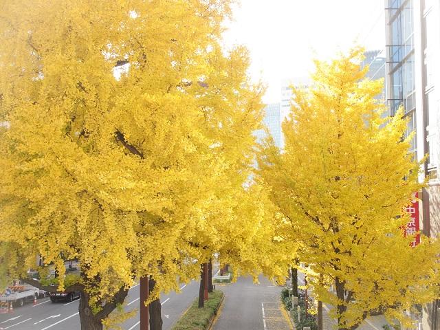 桜通りのイチョウ�
