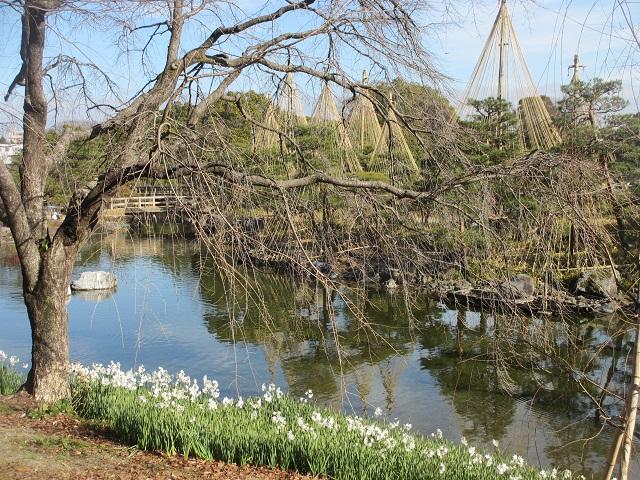 白鳥庭園のスイセン�