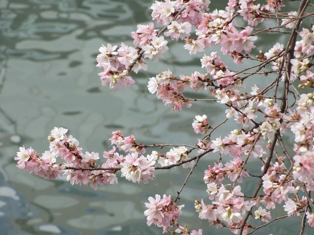堀川の冬桜�