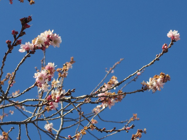 庄内緑地公園の冬桜�