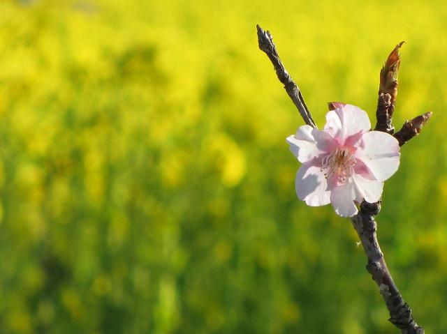 田原の菜の花畑�