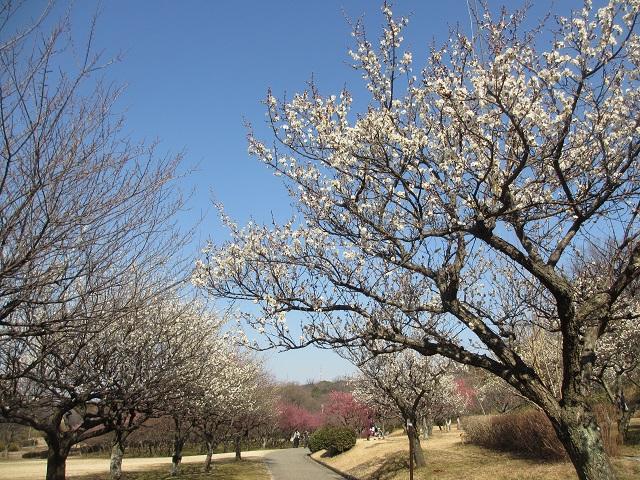 大高緑地の梅�