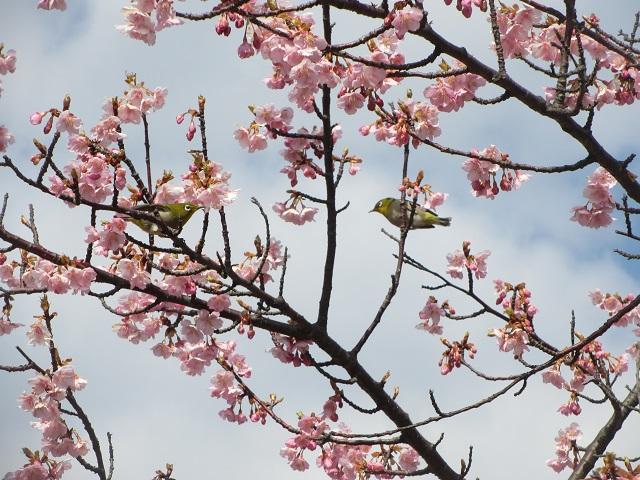 聖崎公園の河津桜�