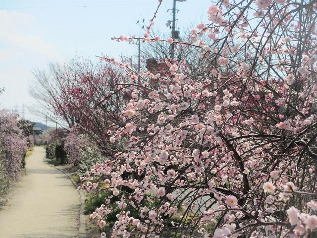 佐布里池の梅�