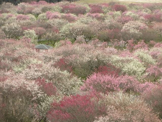 いなべ市農業公園の梅�