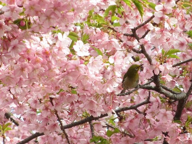 万葉公園の河津桜�