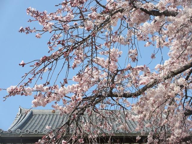 香積院の枝垂れ桜�