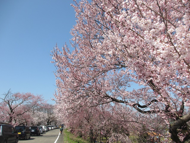 木曽川堤の桜�