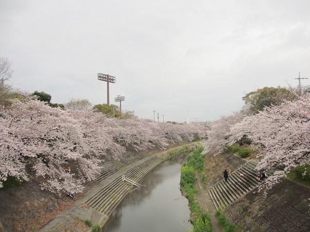 山崎川の桜並木�