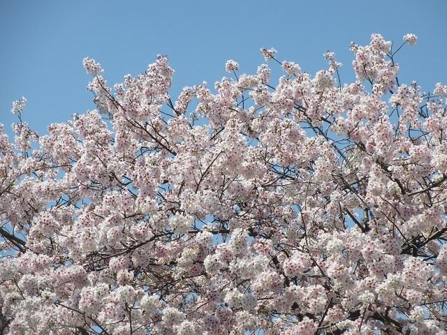 背割堤の桜�