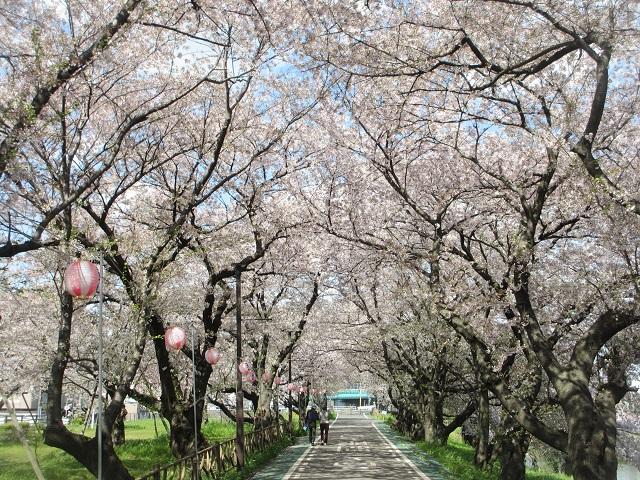 清州城の桜�