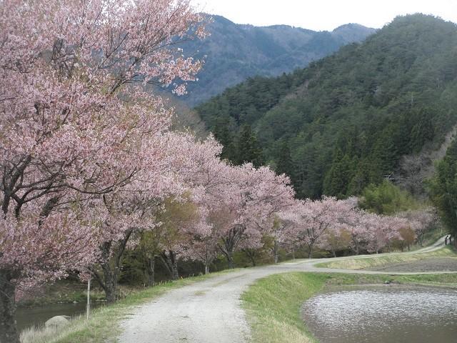 名倉川のコヒガンザクラ�