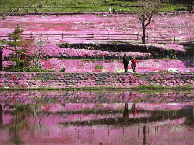 國田家の芝桜ポタ�