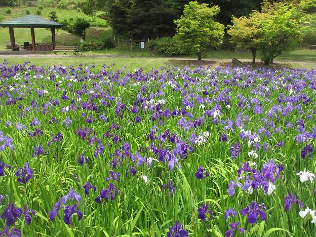 上野台公園のカキツバタ�