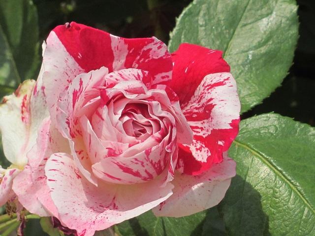 鶴舞公園のバラ�