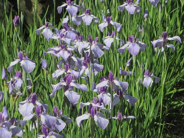鶴舞公園の花しょうぶ�
