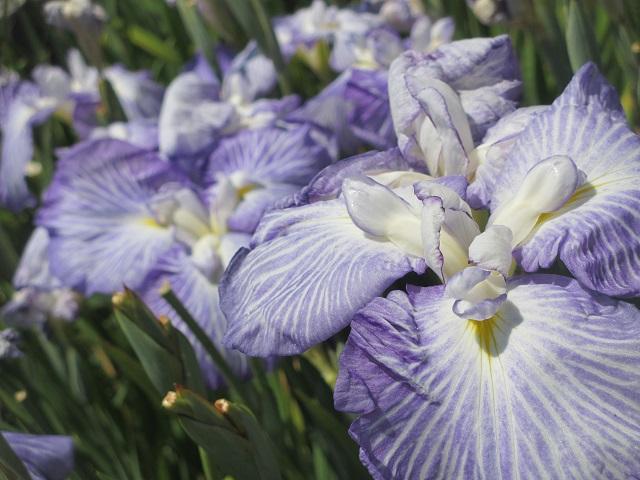 庄内緑地公園の花しょうぶ�