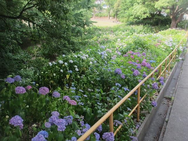 茶屋ヶ坂公園のアジサイ�