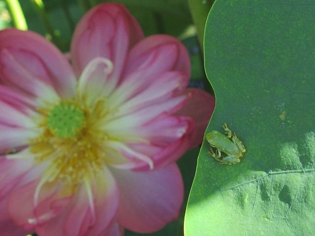 森川花はす田のハス�