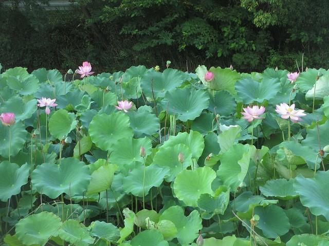 星名池のハス�