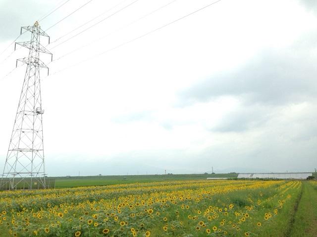 安八のひまわり畑