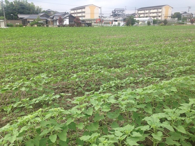 安城市榎前町のひまわり畑�