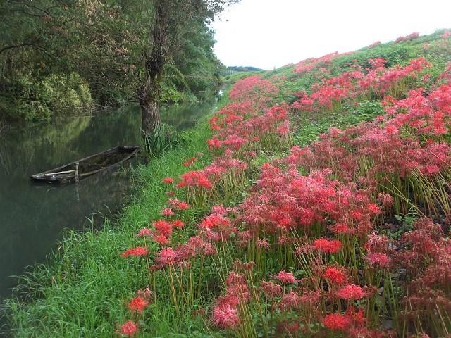 津屋川の彼岸花�