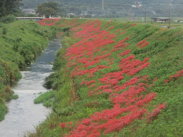 津屋川の彼岸花㉑