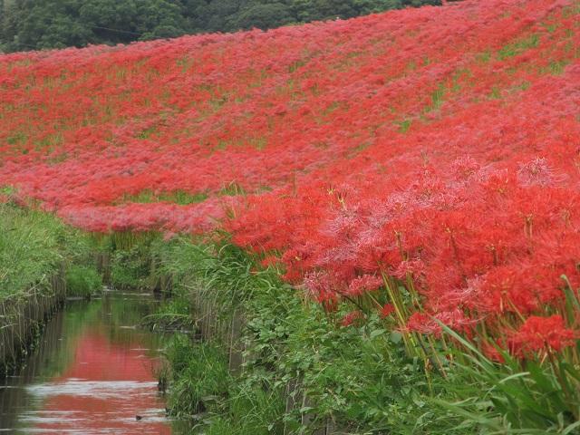 矢勝川の彼岸花�
