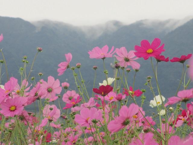 菰野町田光のコスモス畑�