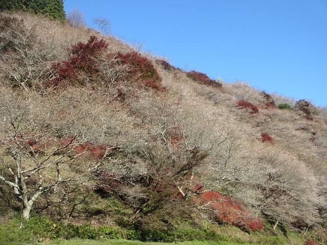 小原の四季桜�