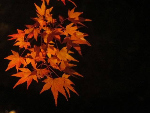 白鳥庭園の紅葉㉖