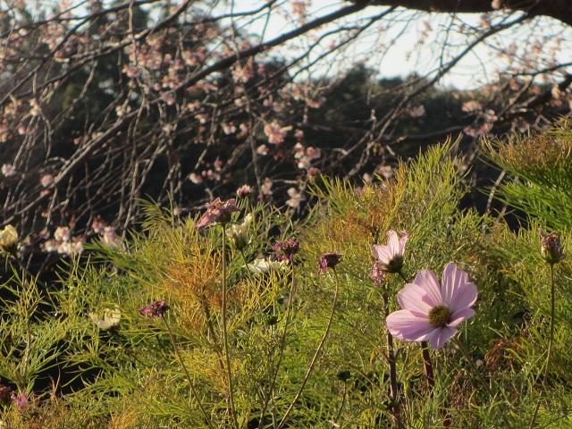 庄内緑地公園の十月桜�