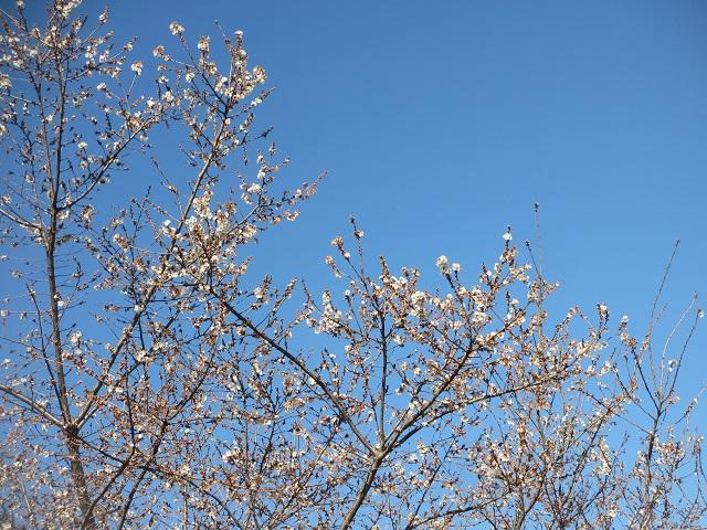 堀川の四季桜�
