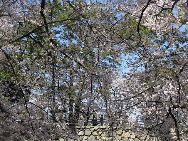 名古屋城の桜�