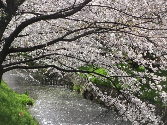 黒川御用水の桜�