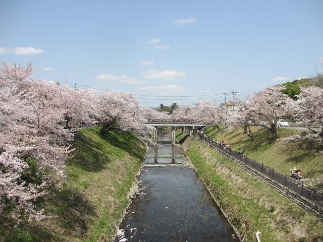 新境川堤の桜並木�