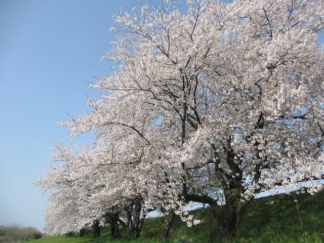背割堤の桜並木�