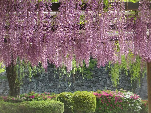 名城公園の藤棚�