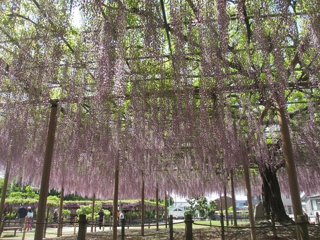 天王川公園の藤�