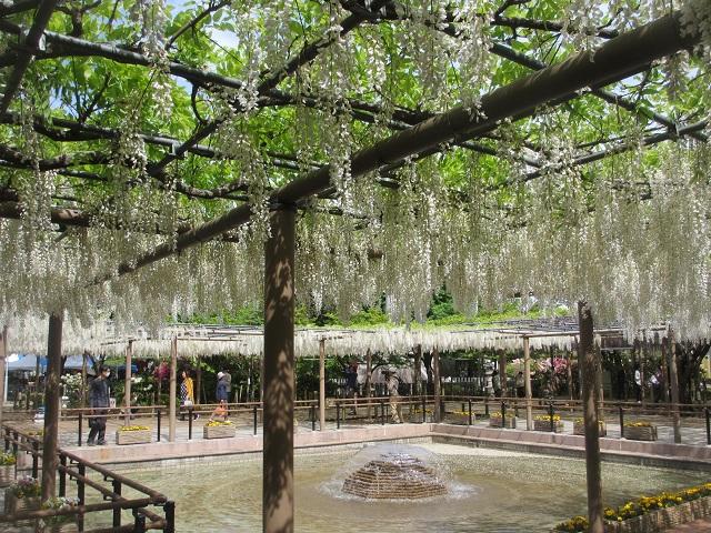 曼陀羅寺公園の藤�