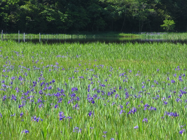 小堤西池のカキツバタ�