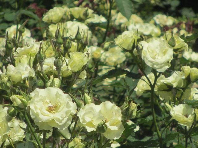 庄内緑地公園のバラ�