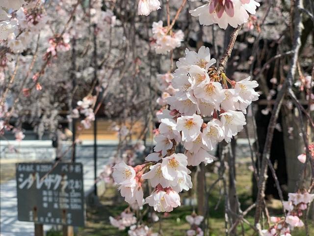 行福寺のしだれ桜�