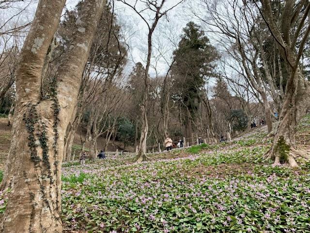 香嵐渓のカタクリ�