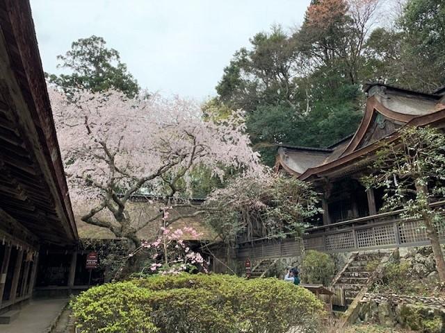 吉野山の桜㉑