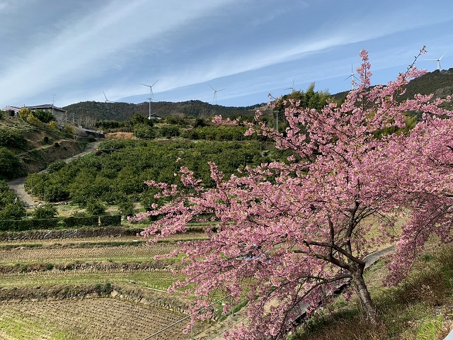 浜松河津桜ライド�