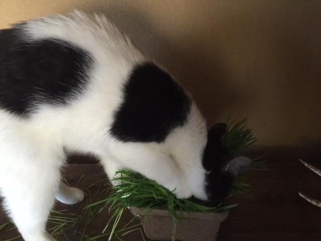 catgrass1.JPG