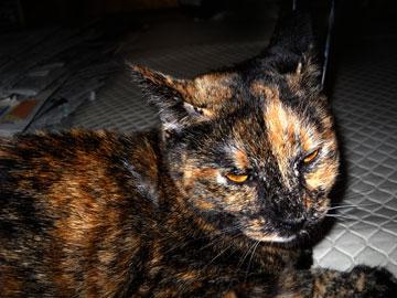 2011年9月25日のサビ猫くるん(1)